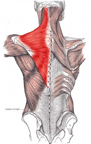 Anatomical rendering of the trapezius muscles of the upper back