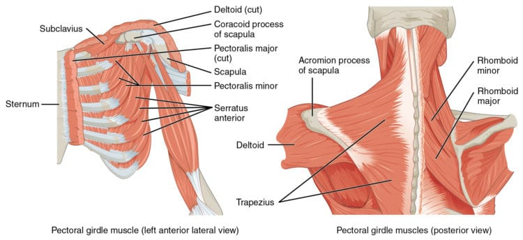 bones of the shoulder girdle and muscles image