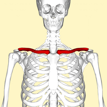bones of the shoulder girdle-clavicle