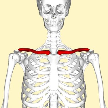 bones of the shoulder girdle-clavicle
