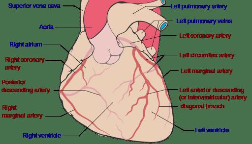 pulmonary system definition coronary arteries