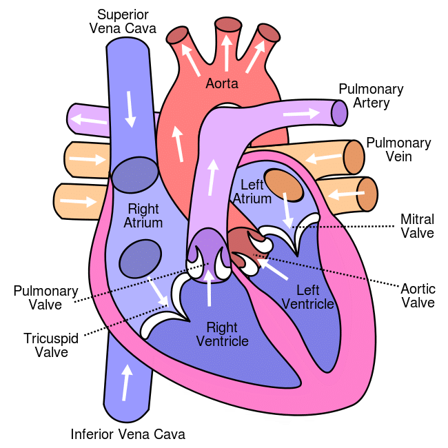 pulmonary system definition heart chambers