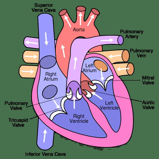 pulmonary system definition heart chambers