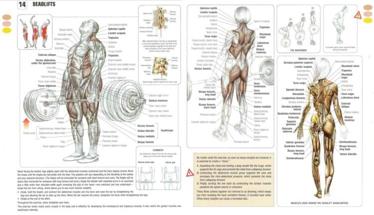 deadlift muscles worked diagram image credit strength training anatomy frederick delavier and fitness stack exchange.com