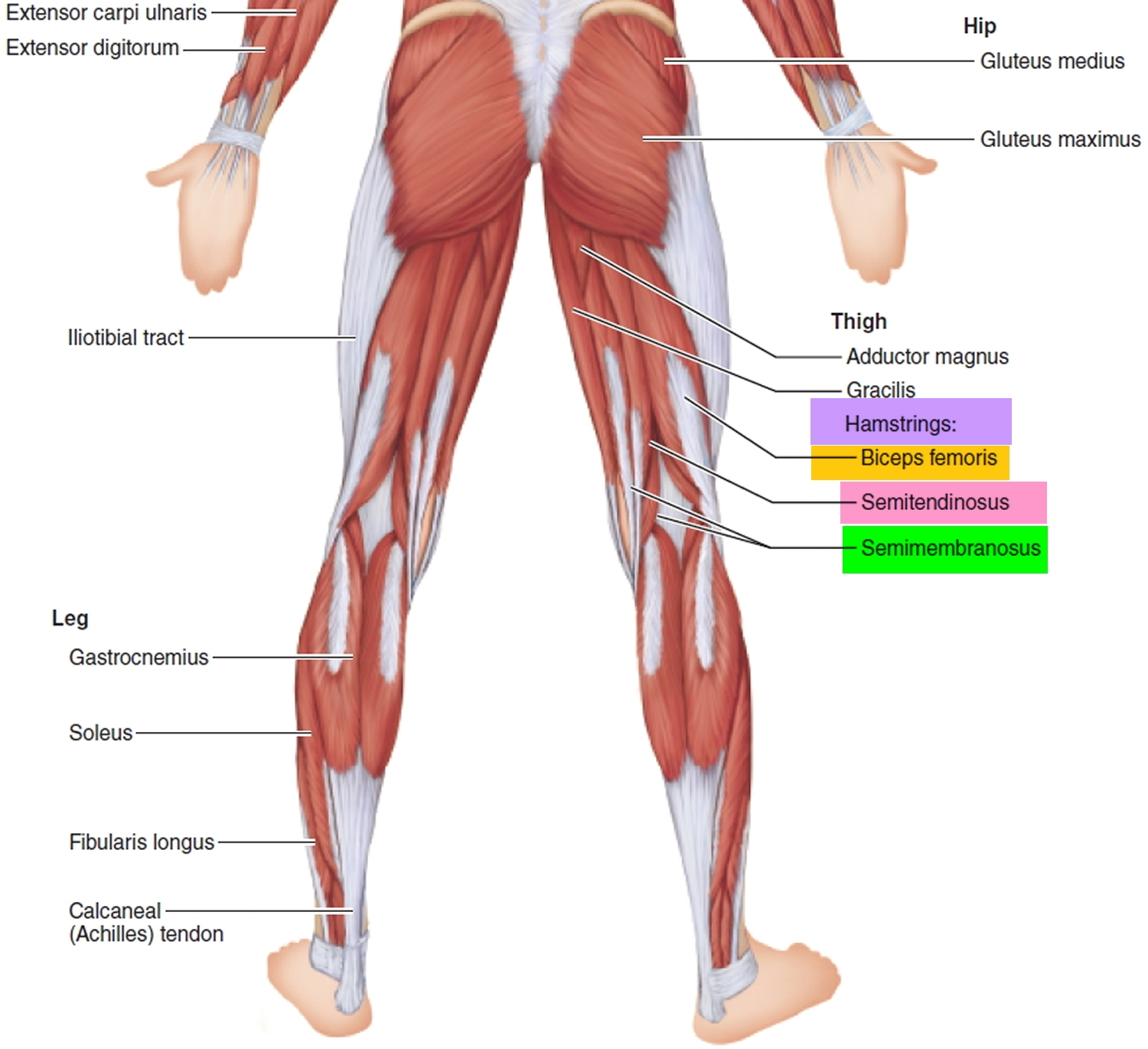 squat muscles used - hamstrings are one important part of your posterior chain