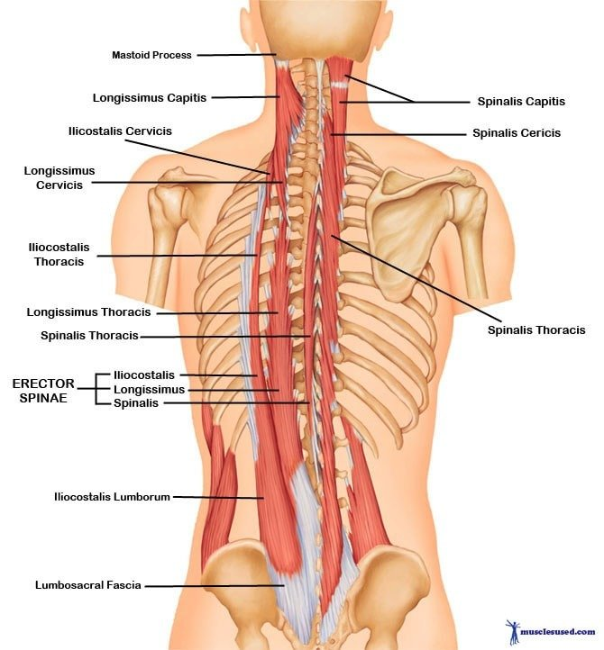 upper body deadlift muscles worked diagram of the erector spinae