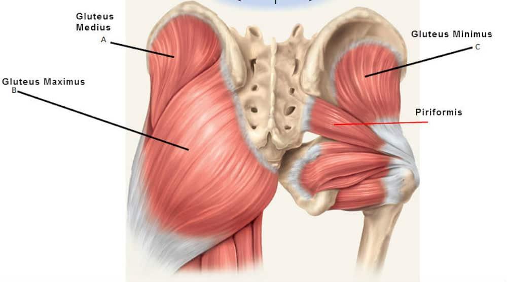 deadlift muscles worked glutes Image Credit holisticbodyworks..com.au