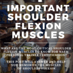 shoulder flexion muscles