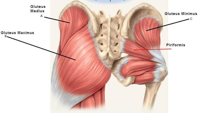 Barbell squats muscles worked gluteal muscles diagram - Image Credit StudyBlue
