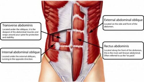 squat muscles used include abdominal muscles Image Credit anatomyinfo.com
