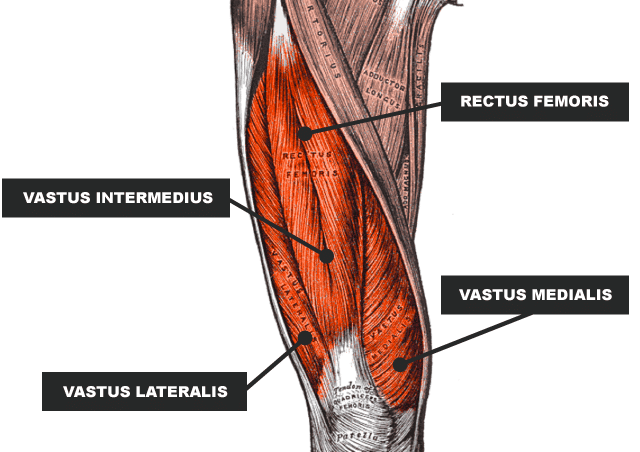 back squat muscles worked - quadriceps diagram - Image Credit - rugby store blog