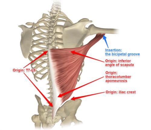 hex bar deadlift musclesworked latissimus-dorsi-yoga-anatomy-image-credit