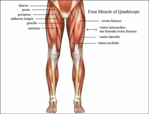 hex bar squats muscles worked four muscles of quadriceps Image Credit results-sports.com